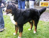 Bernese Mounting Dog