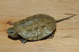 Caspian Pond Turtle