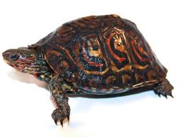 Central American Wood Turtle