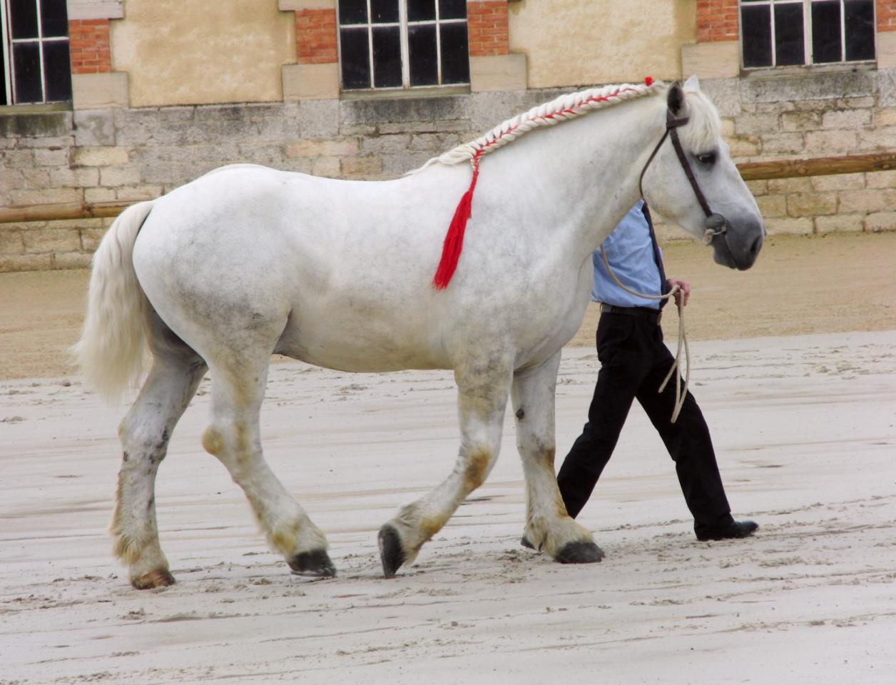 Percheron Horse