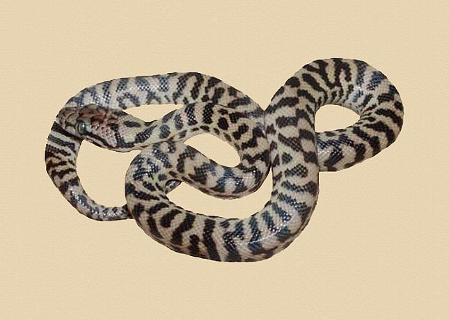 Banded Pygmy Python