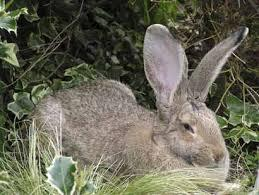 British Giant Rabbit