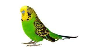 Parakeet, Budgerigar, Budgie