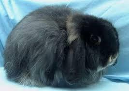 Cashmere Lop Rabbit