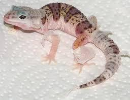 Fancy Leopard Gecko