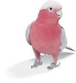 Rose Breasted Cockatoo