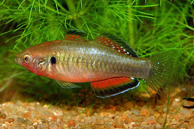 Gudgeon Fish