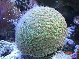 Honeycomb, Star, Wreath & Moon Corals