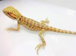 Hypo Central Bearded Dragon