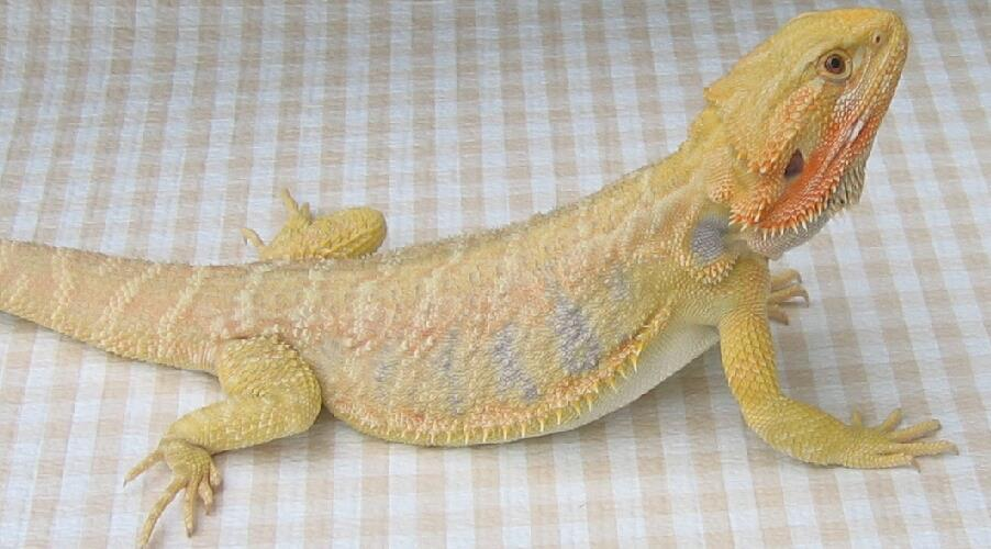Hypo Leatherback Bearded Dragon