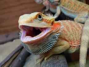 Hypo Translucent Bearded Dragon