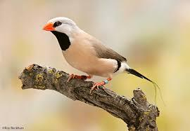Long Tailed Finch