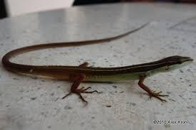 Long-Tailed Lizard