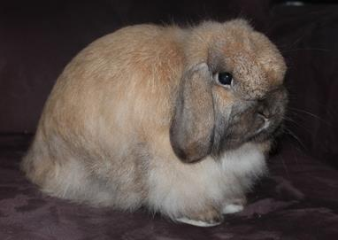 Mini Cashmere Lop Rabbit