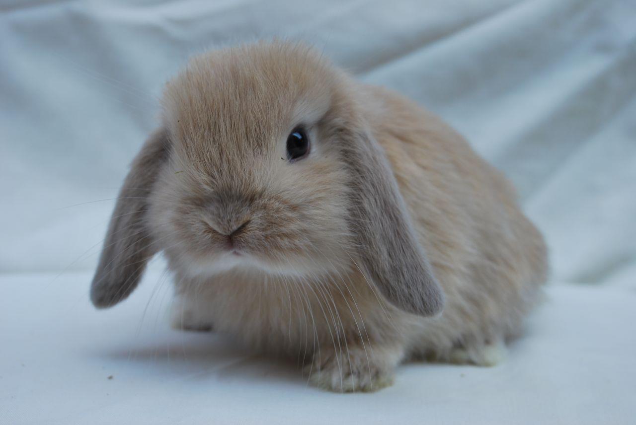 Miniature Lop Rabbit