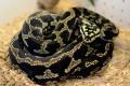 Palmerston Jungle Python