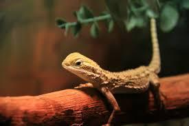 Pygmy Bearded Dragon