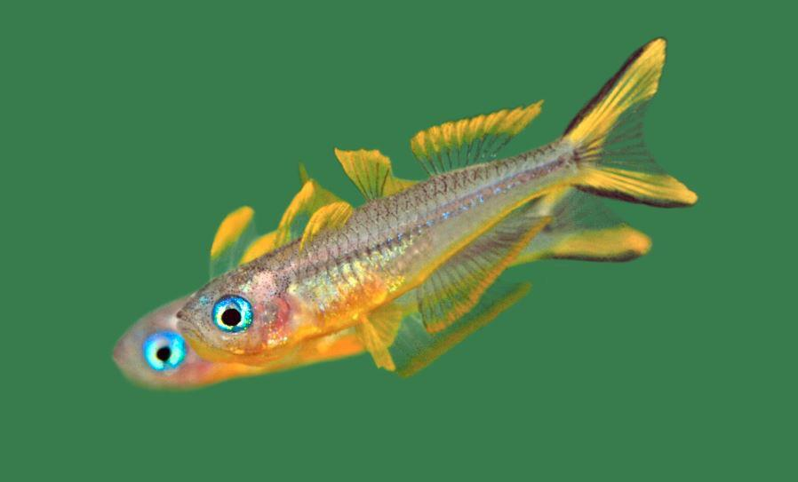 Ornate Rainbowfish or Rhad