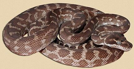 Rough-scaled Python