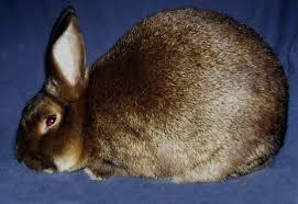 Satin Rabbit