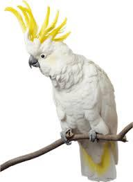 Sulphur Crested Cocatoo