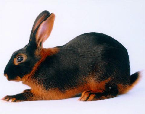 Tan Rabbit