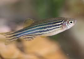 Zebra Danios Fish