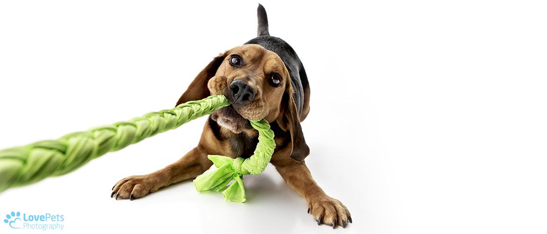 Beagle tug of war