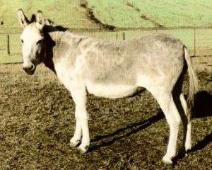 Ponui Donkey