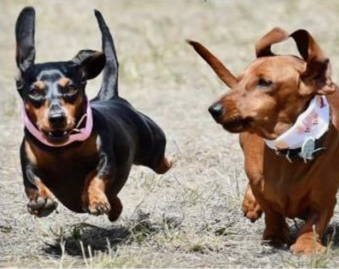 Petcationz Dachshund Derby Day 1 March 2020 Inverleigh Victoria
